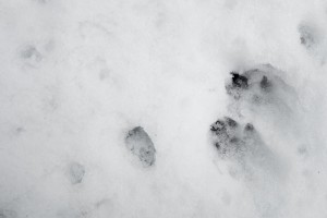 marten tracks in snow